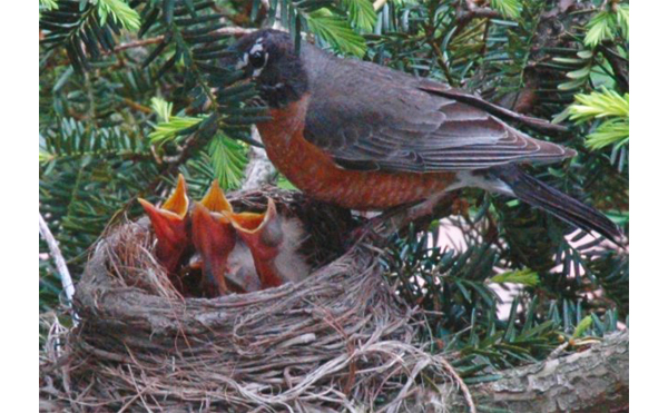 robins nesting smaller